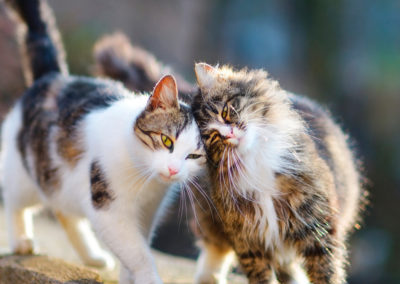 Theoretical and Practical Feline Language